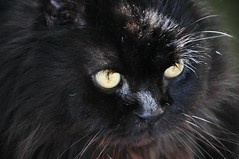 Toby (Janinegh21) Tags: toby cats pets black animals cat blackcat persian eyes furry nikon feline felines nightshots ilovemycat cutecats blackcats persians longhaired funnycats blackandwhitecat ilovemypet blackandwhitecats petsandanimals longhairedcats catsonly ilovemykitten catmoment flickrandroidapp:filter=none animalandpets