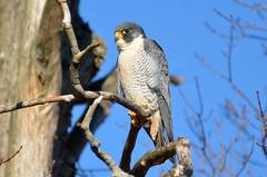 Falcon Rest (PeterBrannon) Tags: winter nature wildlife birding falcons birdofprey peregrinefalcon falcoperegrinus