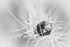 - High Thorn - (Frank Gautier) Tags: white black nature high nikon key noir micro contraste mm 105 nikkor thorn et blanc d800 pine