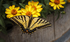 The Swallowtail (http://fineartamerica.com/profiles/robert-bales.ht) Tags: animals butterflyormonth forupload haybales idaho people photo places projects salmonarea states butterfly swallowtail yellow nature lepidoptera papilio insect black animal skippers colorful color tracheata flower world orange portequeue grand spring common wings white machaon papillon antenna moths beautiful biology beauty closeup natural motion macro pretty red wildlifedelicate bug detail feeding blossom arthropoda animalia gold large insecta birdwingbutterflies ornithoptera easterntigerswallowtail robertbales