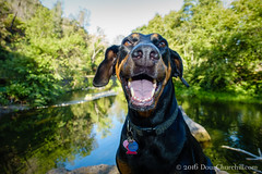188366  07 July 2016  happy dog (Doug Churchill) Tags: 365 366 sonyrx100m3 backcountry beautiful bidwell bidwellpark bigchicocreek black buttecounty ca california canine canines canyonland chico chicocreekcanyon citypark colorful diverse doberman dobermanpinscher dobie dog dogs fauna flora foothills forest geology hiking landscape lovejoybasalt municipalpark natural nature park pet pets pristine project366 rockformations rocks scenery scenic sensitive spectacular trail trillian undeveloped unitedstatesofamerica urbanforest usa vistas volcanicrocks