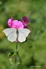 ... oggi voglio prendere un po' di sole, mostrandovi il taglio curvo delle mie ali... non mi succede spesso (Plebejus argus) Tags: gonepteryxcleopatrae pieridae farfalle lepidotteri montilepini lazio italia macro