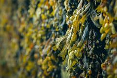 The Harbour Wall (A J Thackway) Tags: harbour appledore north devon sea seaweed colours plant life maritime carpet living salt green orange black canon 6d ef24105mmf4l dof