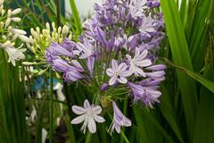 RHS Flower Show 2016 (MrBigglesworth) Tags: knutsford flowershow tatton flowers cheshire rhs england unitedkingdom gb