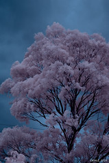 Eucalypts in colour-infrared (i-lenticularis) Tags: ricohgxrir summaritm90f25 home infraredcolour eucalyptus gumtree