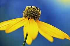Erdbirne (novofotoo) Tags: blumen blte bltenstand erdbirne helianthustuberosus korbbltler natur topinambur