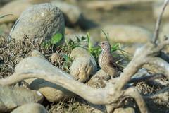 Linotte mlodieuse  (Jacques GUILLE) Tags: 09 arige cardueliscannabina commonlinnet domainedesoiseaux fringillids linottemlodieuse mazres passriformes bird oiseau