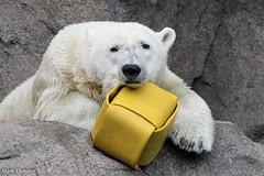 234A4210.jpg (Mark Dumont) Tags: animals bear cincinnati dumont mammal mark polar zoo