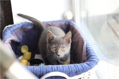 IMG_2499 (murkla_la) Tags: cat russianblue moussie gray graycat