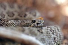 Great Basin Rattlesnake (DevinBergquist) Tags: greatbasinrattlesnake crotaluslutosus crotalus cascabel rattlesnake snake herping fieldherping wildlife nature utah ut