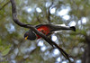 Elegant Trogon (Desert Vu) Tags: trogon eleganttrogon arizonabird maderacanyon