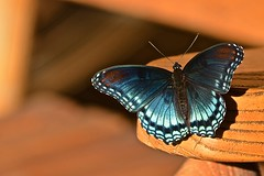 Red-spotted Purple butterfly (1 of 2) (deanrr) Tags: redspottedpurplebutterfly butterfly redspottedpurple morgancountyalabama alabama nature outdoor wood 2016