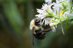 Bumble Bee (benevolentkira7) Tags: bee bees bug bugs insect insects flying leg legs sting hairy furry cute black yellow stinger eyes alien crazy fast