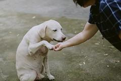 "Old Labrador Retriever ""Buddy""  (MissingBeagle) Tags: fujifilm xt10 xf 35mm f14 r xf35mmf14 old labrador retriever buddy"
