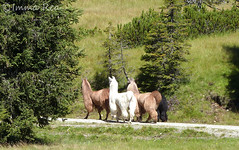The three ladies (nerei_de) Tags: allnaturesparadise mountain animals lama