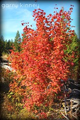 Vine maple (Garry's lens....) Tags: maple fall autumn beauty nature outdoors colorful pretty colors blue sky picmonkey