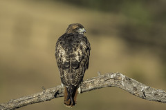 Red-tailed Hawk (X68_8245-1) (EricLuSF) Tags: redtailedhawk hawk raptor edrlevincountypark milpitas santaclaracounty california