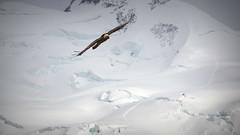 Flying on Gornergrat (Switzerland) (armxesde) Tags: pentax k3 ricoh schweiz switzerland alpen alps berge mountains snow schnee eis ice eagle gornergrat