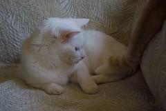 Charlie deciding what to do about Otis's tail in his personal space. (rootcrop54) Tags: charlie allwhite white male cat otisorangetabby macska kedi  koka kissa  kttur kucing gatto  kais kat katt katzen kot  maka maek kitteh chat