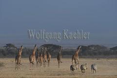 10076058 (wolfgangkaehler) Tags: 2016africa african eastafrica eastafrican kenya kenyan amboseli amboselikenya amboselinatlparkkenya amboselinationalpark wildlife mammal giraffe giraffes giraffacamelopardalistippelskirchi herd tower group burchellszebra burchellszebraequusquagga burchellszebras