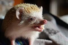 Cinna grump (Lady Alec) Tags: hedgehog cinnamon grumpy