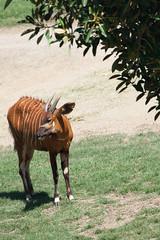 Bongo Antelope. (LisaDiazPhotos) Tags: bongo antelope sdzsafaripark sdzoo sandiegozoo sandiegozooglobal sandiegozoosafaripark sandiego