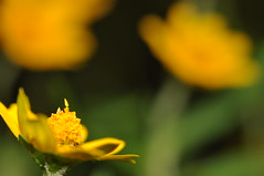 yes, i'm ready (DOLCEVITALUX) Tags: flower flowers flora fauna philippines plants bokeh outoffocus