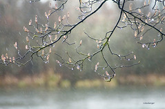 bourgeons (nicole boxberger) Tags: pluie lumiere bourgeons printemps