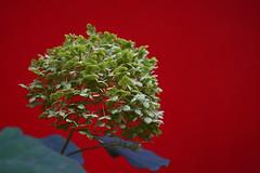 Hortensie (ingrid eulenfan) Tags: natur nature blte hortensie red rot pflanze blume strauch