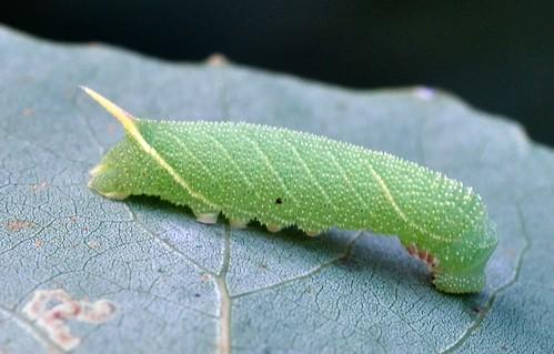 Poplar Hawkmoth larva - Laothoe populi