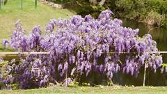 Wisteria (Val in Sydney) Tags: wisteria nsw australia australie glicyne flower fleur