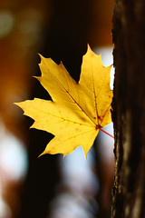 Hello Yellow (ShellyMorton) Tags: yellow leaf autumn fall tree newengland newhampshire sunlight filteredlight