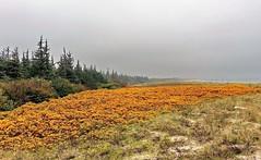 Herbst (Wunderlich, Olga) Tags: herbst mecklenburgvorpommern dars landschaft natur ostsee nebel sand wildrosen dnnen tannen meer