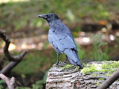 Main lookout (PhotoLoonie) Tags: bird wildbird britishbird ukbird nature outdoors crow corvid britishwildlife wildlife ukwildlife feathers