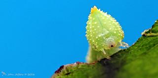 A Lime Hawk-moth larva - Mimas tiliae (Sphingidae)
