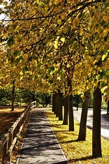 Autumn Avenue (dlanor smada) Tags: aylesbury autumn bucks trees gold shadows