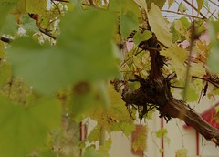 October, cold October (Cezara00) Tags: foglie ottobre october macro frunze leaf autumn wine uva grapes