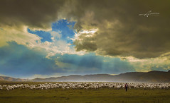 Storm Lamb (Albert Photo) Tags: storm lamb sky landscape shepherd raise sheep flock outdoor green grassland cattle livestock animal domesticanimal field people cloud ray lights