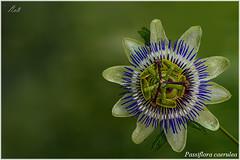 Passiflora caerulea (Neli Martin) Tags: flordelapasin galicia passiflora caerulea
