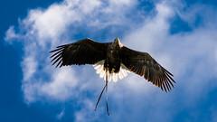 2016-10-04 Thirsk-6611.jpg (Elf Call) Tags: 120300 prey nikon hawk vulture birds owl eagle kookaburra psion d7200 hill
