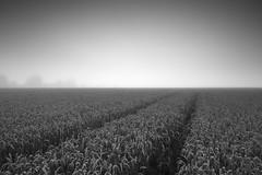 Fade to Grey (markgeorgephotography.co.uk) Tags: corn cornfield field fields farm farmland agriculture agricultural landscape landscapephotography landscapephotographer sky weather crops track tracks fog foggy mist cloud clouds blackwhite bw mono monochrome canon5dmk3 canon5dmkiii canoneos5dmk3 canoneos5dmkiii canonef1635mmf28iiusm leefilters manfrotto