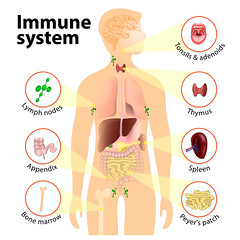 Immune system (UICmedia) Tags: immune system human anatomy silhouette internal organ lymphatic lymph biology health medical disease thymus body gland structure medicine science healthcare infection circulatory blood diagram node immunity cancer anatomical bone marrow lymphnodes spleen tonsils adenoids appendix clumps lymphoid tissue small intestine peyerspatches