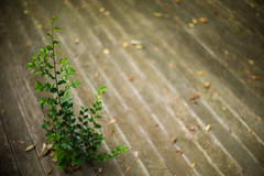 growing on boardwalk (N.sino) Tags: m9 summilux50mm boardwalk