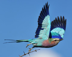 Lilac-Breasted Roller (Cois Meyer) Tags: lilacbreastedroller