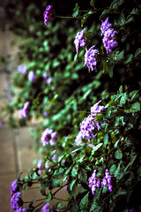 IMG_3940 (Herbert Barbosa) Tags: wild hyacinth southern california wildflowers bokeh macro flower flowers purple mothers day profundidade de campo serenidade ao ar livre moldura foto