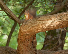 Red Squirrel - Sciurus vulgaris (redladyofark) Tags: red squirrel brownsea poole dorset scurius vulgaris
