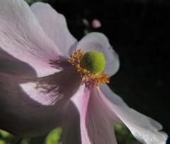 celle dont le coeur sortait d'elle-mme (laetitiablableuse) Tags: fleur flore flora flowers nature du japon pink yonne bourgogne burgundy france love thy macro fantastic anemone toutes merveilles through eyes