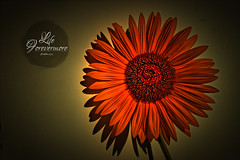 Forever Sunflower (Free HI-RES) (Bible Verse Photo) Tags: sunflower flower sun red seeds jesus christian art bible verse scripture life forevermore eternal god photo free creative commons full resolution desktop background text black colorful light psalm psalms 1333 133 3 old testament orange gray hd 5000 px