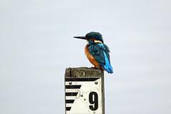 Kingfisher (NickWakeling) Tags: kingfisher rspb strumpshawfen norfolk nature birds wildlife canon60d canonef400mmf56lusm