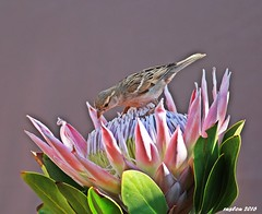 King Protea, (Protea cynaroides) (ruslou (More off than on)) Tags: housesparrow passerdomesticus huismossie ruslou nature pretoria southafrica